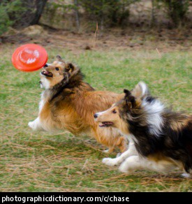 Photo of two dogs chasing a frisbee