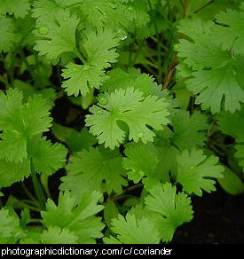 Photo of coriander
