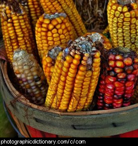 Photo of cobs of corn