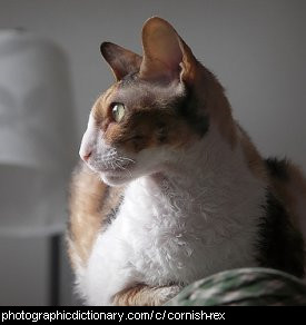 Photo of a cornish rex cat
