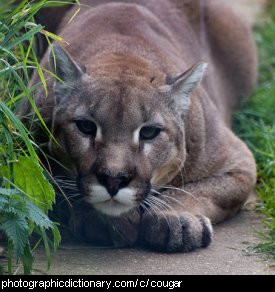 Photo of a cougar