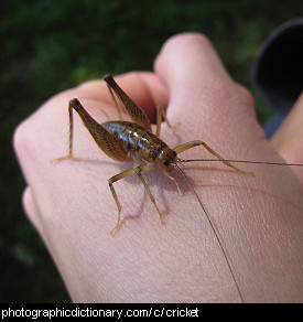 Photo of a cricket