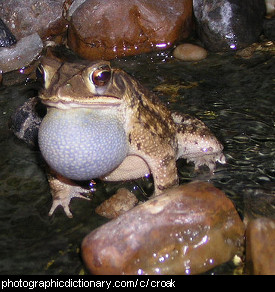 Photo of a frog croaking.