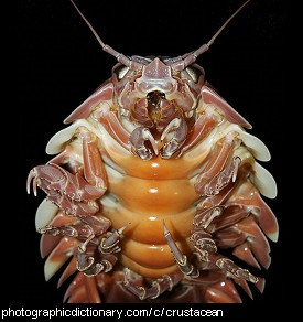 Photo of a crustacean