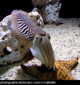 Photo of a cuttlefish