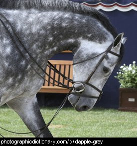 Photo of a dapple grey horse.