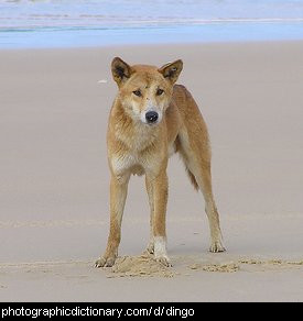 Photo of a dingo on a beach