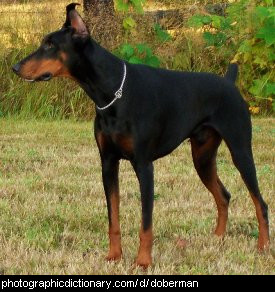 Photo of a doberman dog