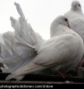 Photo of white doves