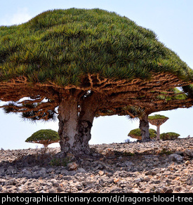 Photo of Dragon's blood trees