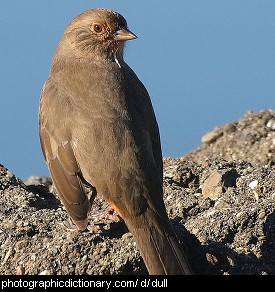 Photo of a dull brown bird