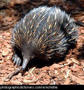 Photo of an echidna