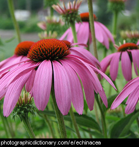 Photo of echinacea flowers