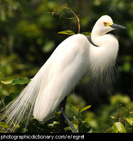Photo of an egret.