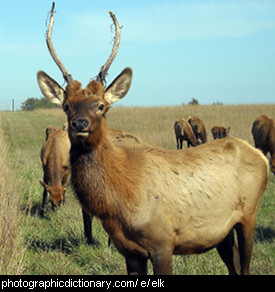 Photo of an elk