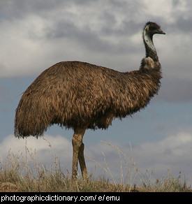 Photo of an emu