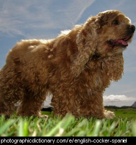 Photo of an English cocker spaniel