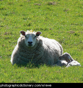 Photo of a ewe and lamb.
