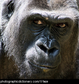 Photo of a gorilla's face