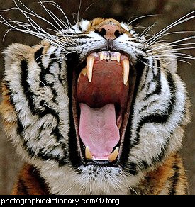 Photo of a tigers fangs
