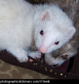 Photo of pet ferrets.