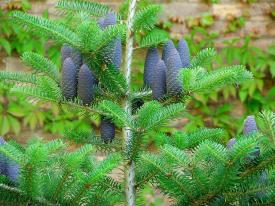 Photo of a fir tree