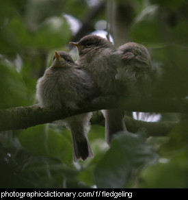 Photo of fledgeling birds