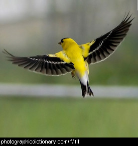 Photo of a bird flitting