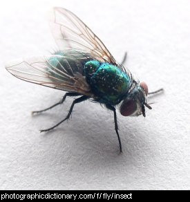Photo of a housefly