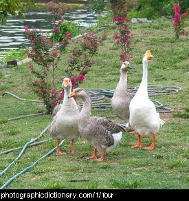 Photo of four geese.