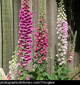 Photo of some foxgloves