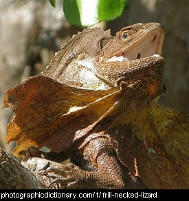 Photo of a frilled lizard