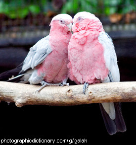 Photo of two galahs