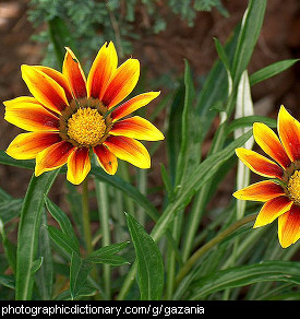 Photo of gazania flowers
