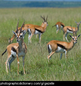 Photo of Thompson's gazelles