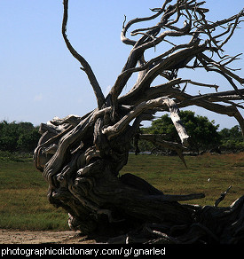 Photo of a gnarled tree