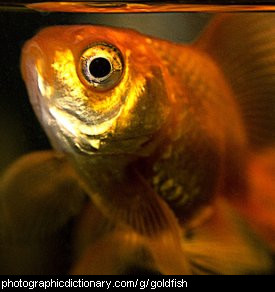 Photo of a pet goldfish.