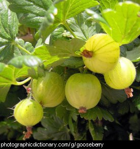 Photo of gooseberries