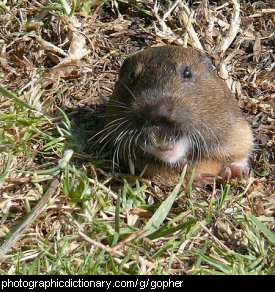 Photo of a gopher