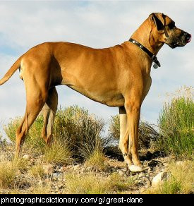 Photo of a great dane dog