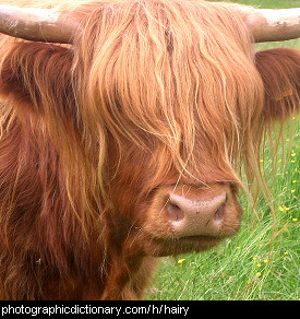 Photo of a hairy cow
