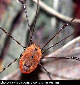 Photo of a harvestman