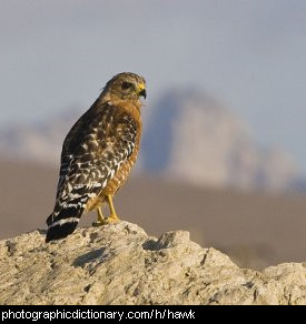 Photo of a hawk