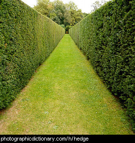 Photo of a hedge alley.