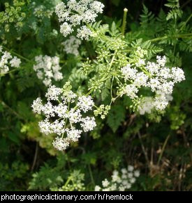 Photo of hemlock