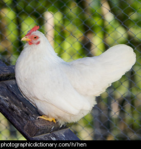 Photo of a hen.