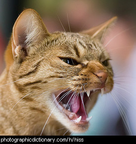Photo of a cat hissing