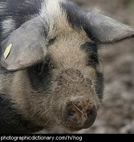 Photo of a hog
