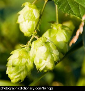 Photo of hops flowers