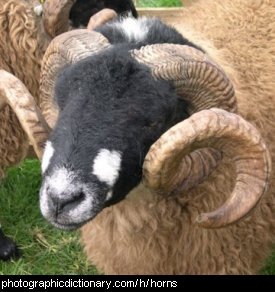 Photo of rams horns